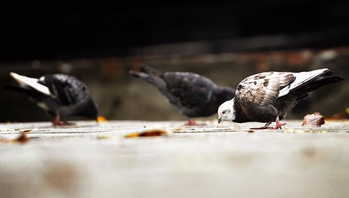 Власти перуанской столицы запретили кормить голубей