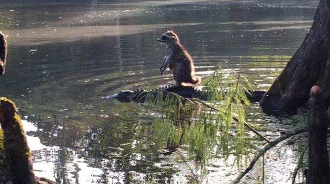 В США фотографу удалось снять енота на спине у аллигатора